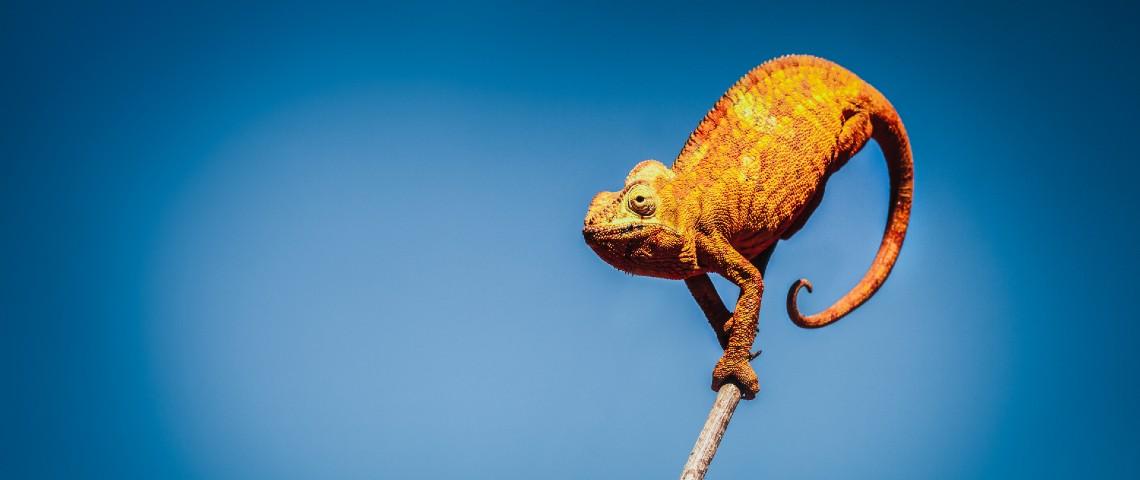 Caméléon sur une branche
