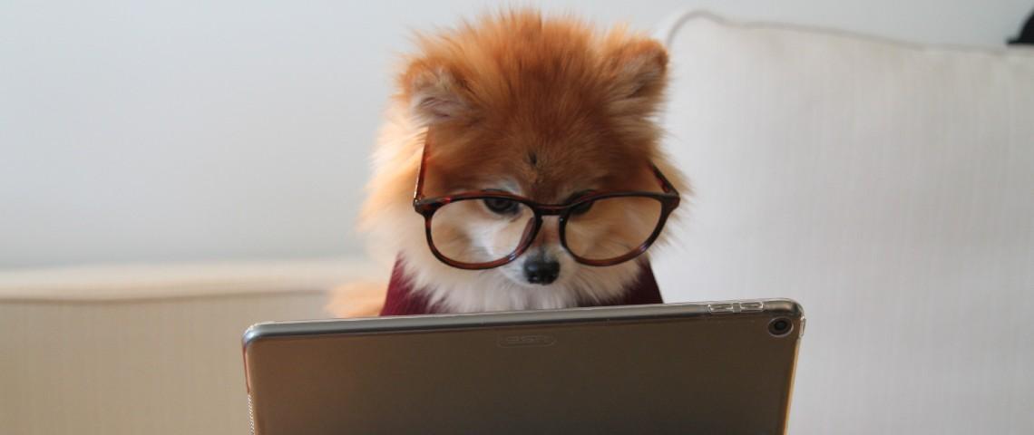 Petit chien à lunettes regarde une tablette