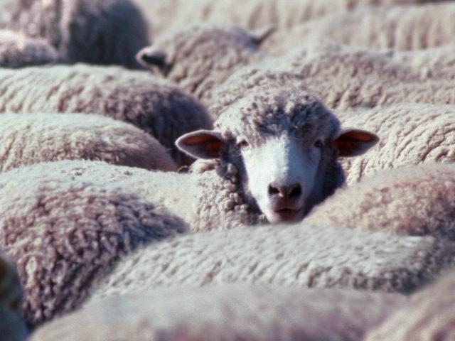 Quand les conspirationistes nous prennent pour des moutons.