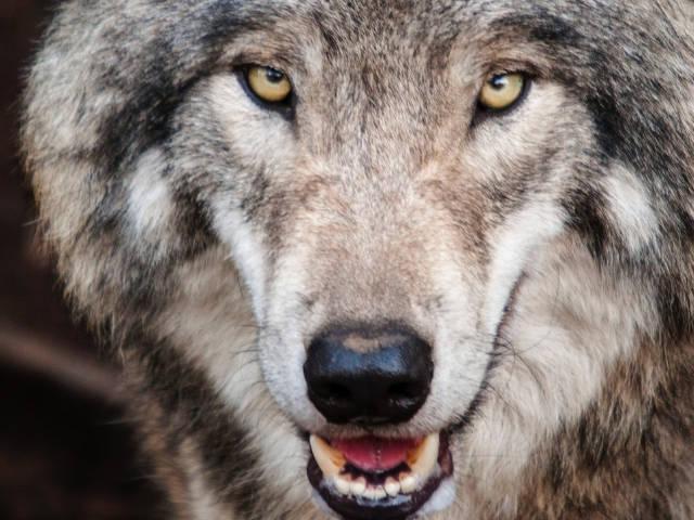 Un loup la gueule ouverte