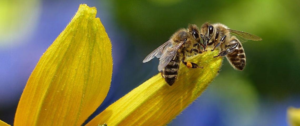 2 abeilles butinant une fleur jaune