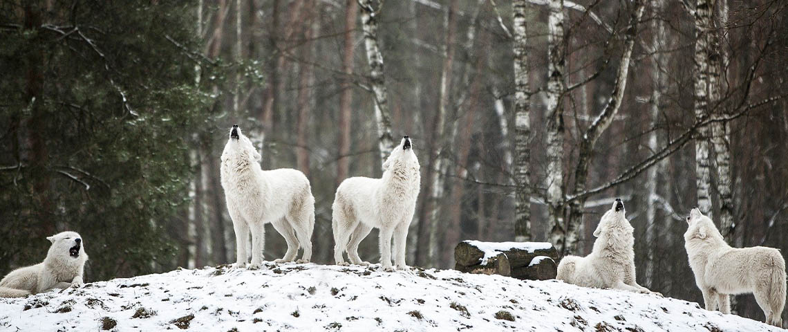 meute, loups blancs
