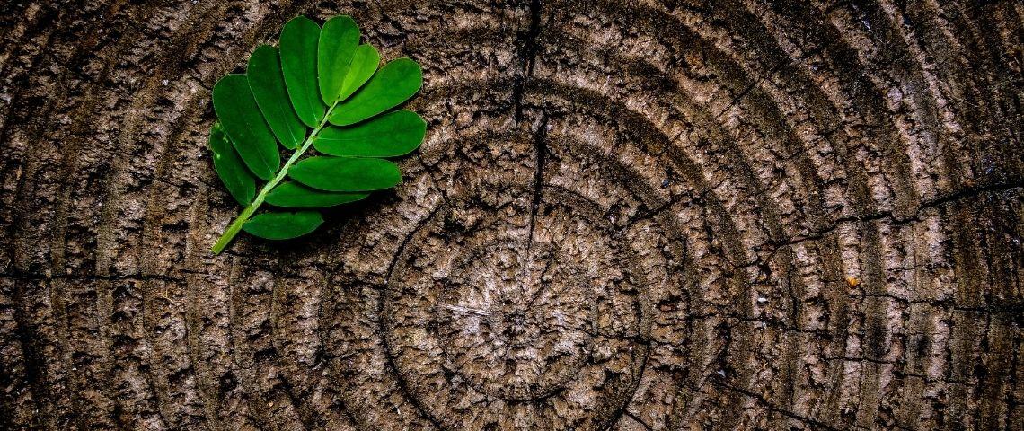 Souche d'un tronc d'arbre avec une feuille verte posée dessus