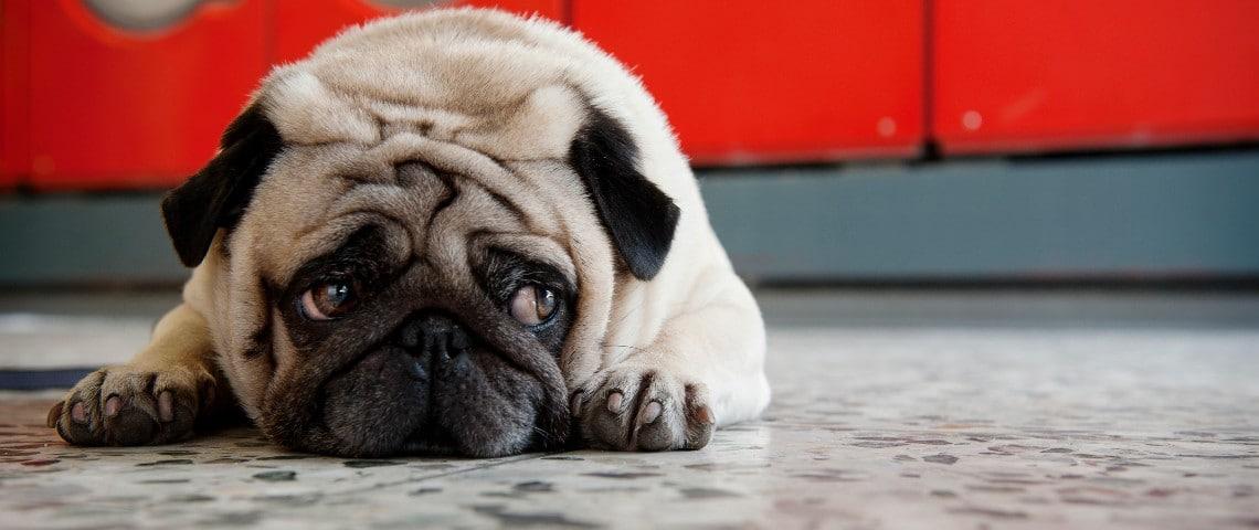 Un petit chien carlin à l'air triste allongé par terre