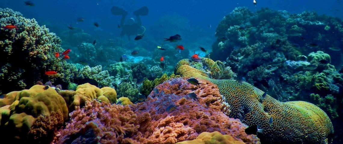 Des coraux (mer d'Indonésie)